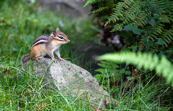 waiting, watching, a chipmunk ready to run!