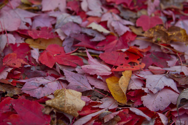 a carpet of autumn leaves, reds