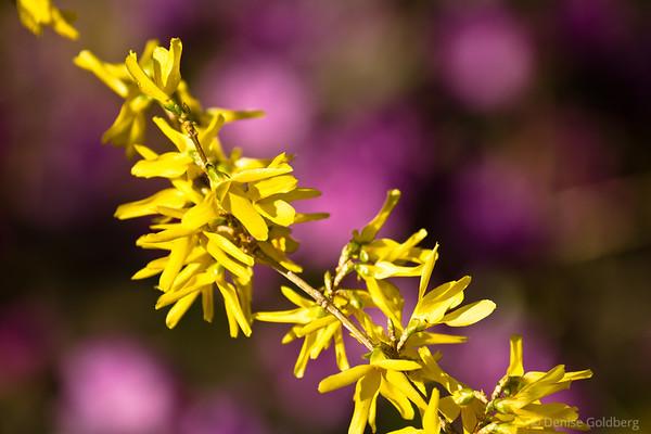yellow forsythia, pink background