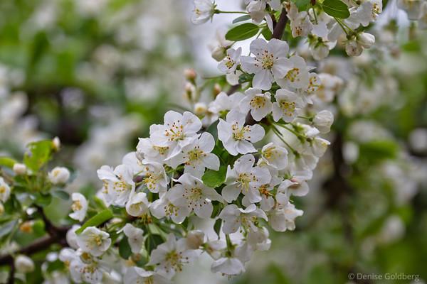 flowering tree, white blossoms