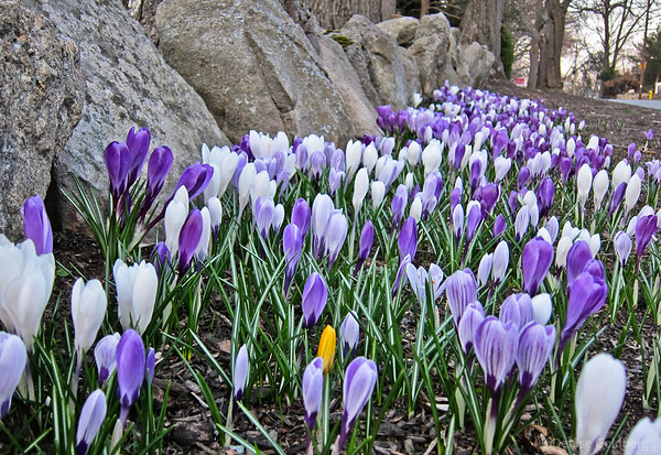 crocus, purple & white