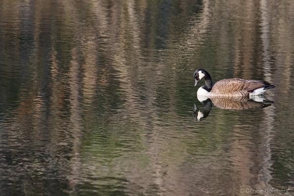 Canada Goose, in a mirror