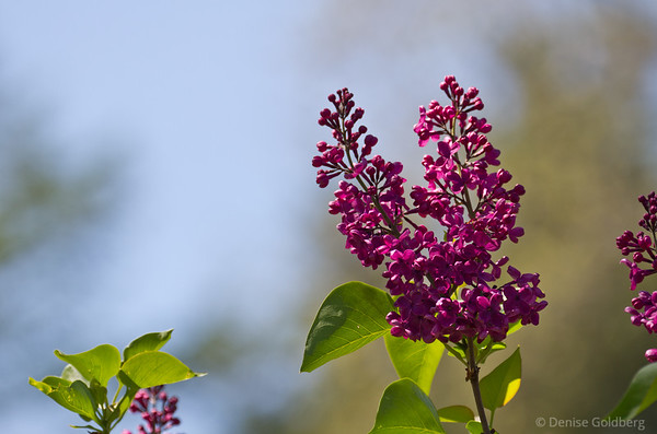 lilacs, purple with red