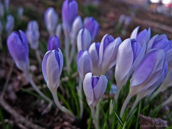 spring flowers, crocus