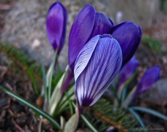 purple, striped, crocus