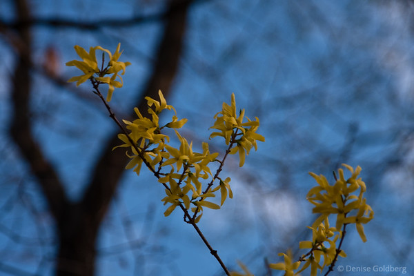 yellow against blue, forsythia