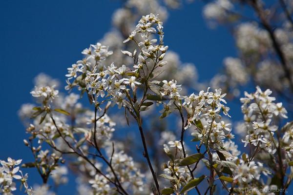 flowering tree against a clear bright blue sky