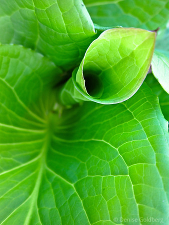 green leaves, curling open