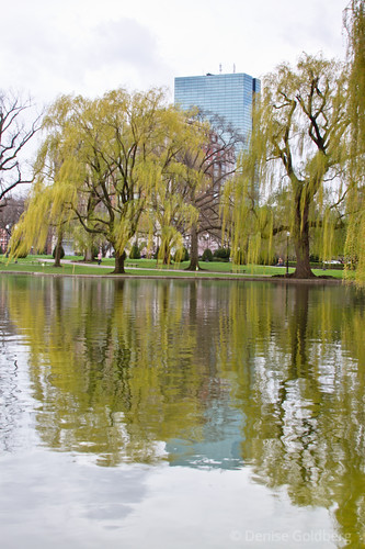 reflections in the duck pond, Boston's Public Garden