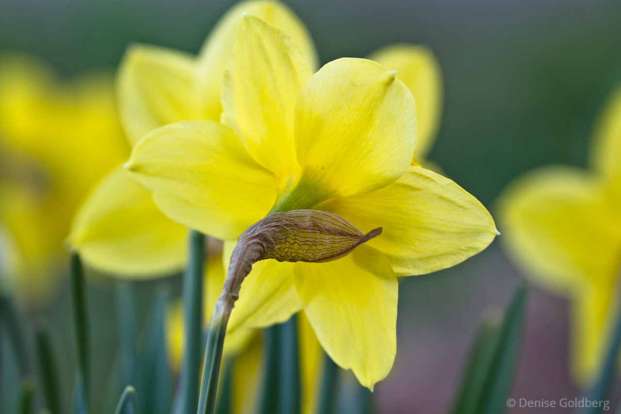 daffodils delivering a splash of yellow