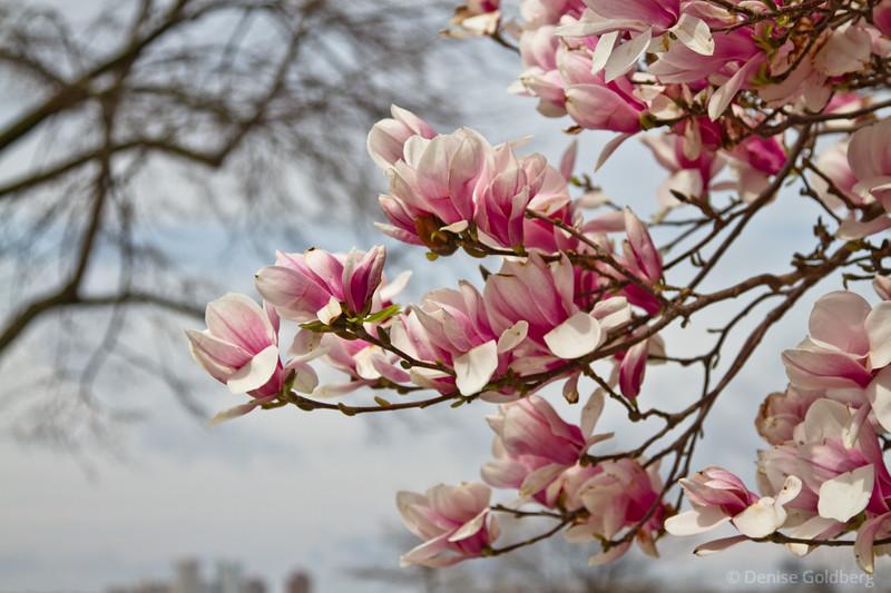 magnolia blooming in Boston