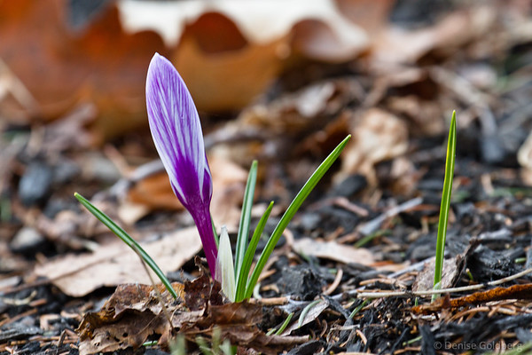 a crocus wearing subtle stripes of purple
