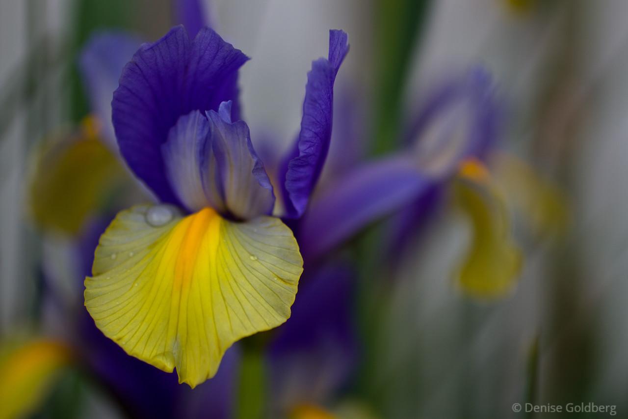dreamy iris in purple and yellow