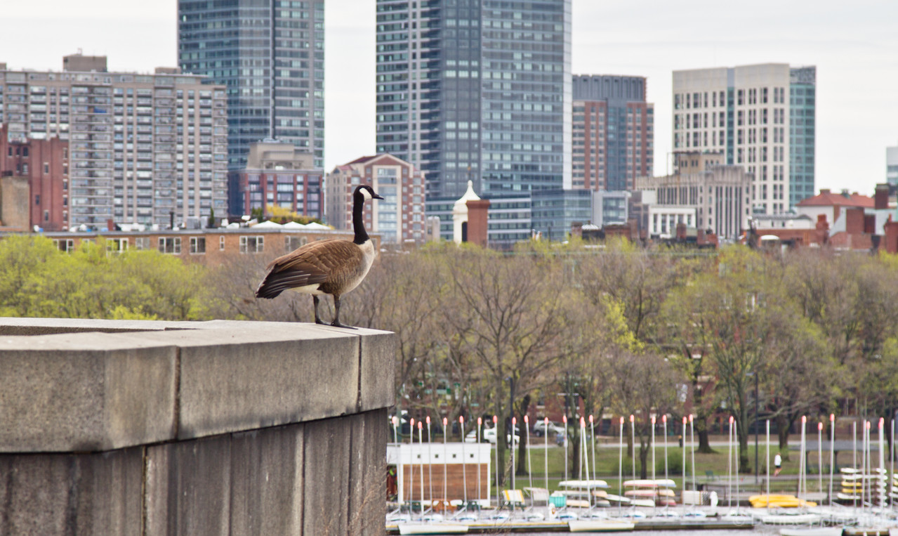 overlooking his kingdom, Canada Goose standing on the Longfellow Bridge between Boston & Cambridge