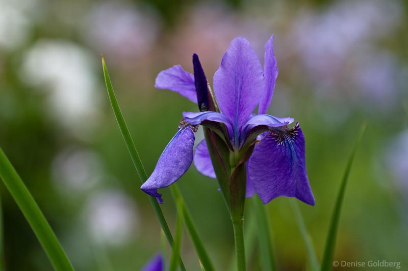 iris in purple, delicate petals
