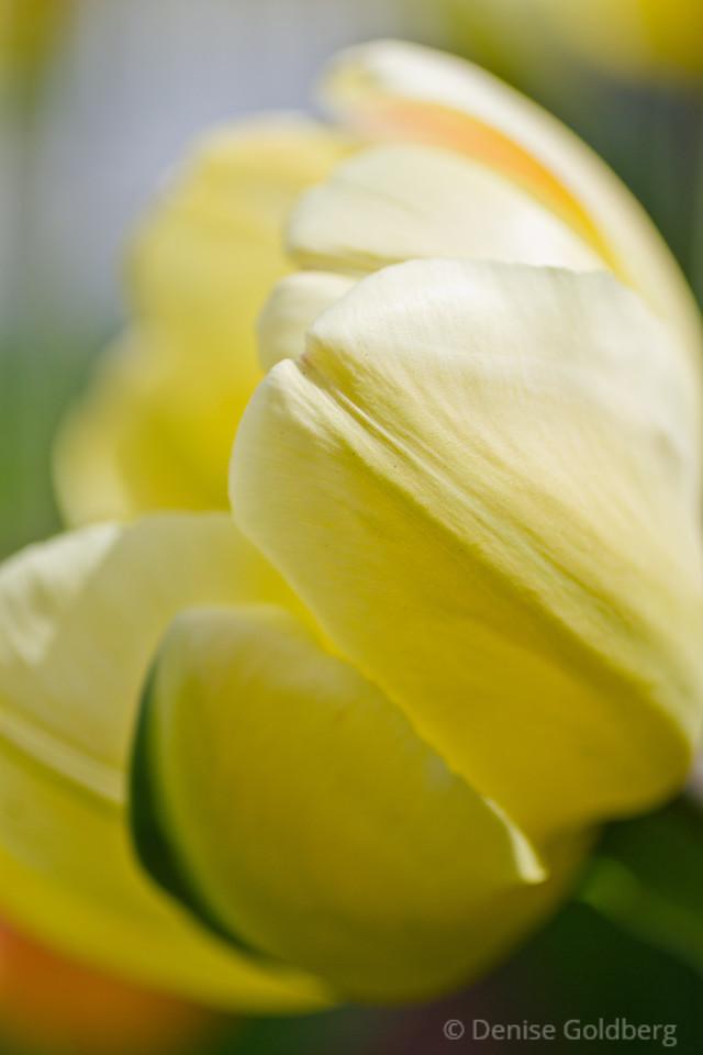 soft, yellow... tulip