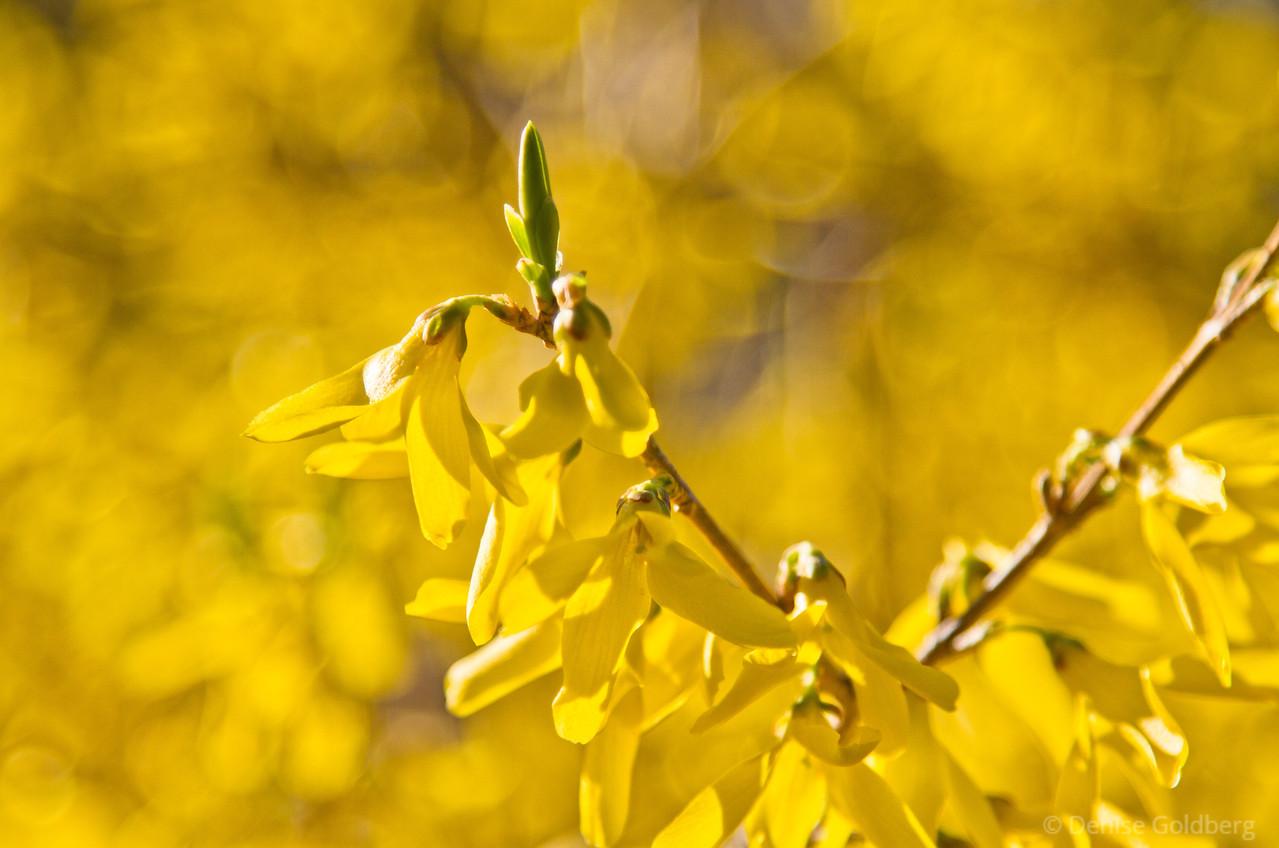 bright yellow, forsythia