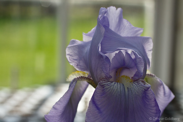 early (greenhouse) iris