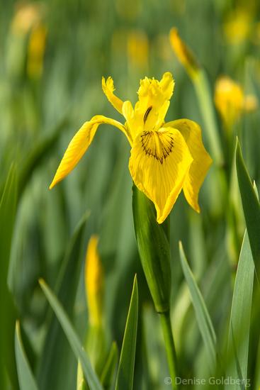 iris in yellow
