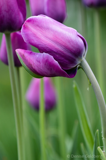 tulip in purple