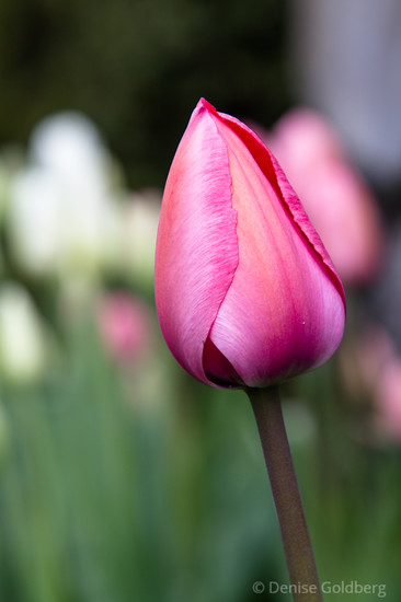 an early tulip in bright pink