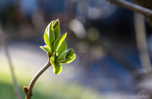 emerging leaves, spring green