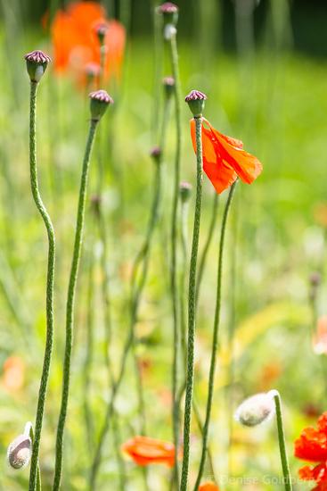 poppies sans petals