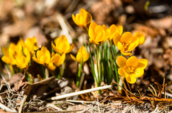 crocus in yellow