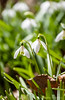 snowdrops, a welcome sign of spring
