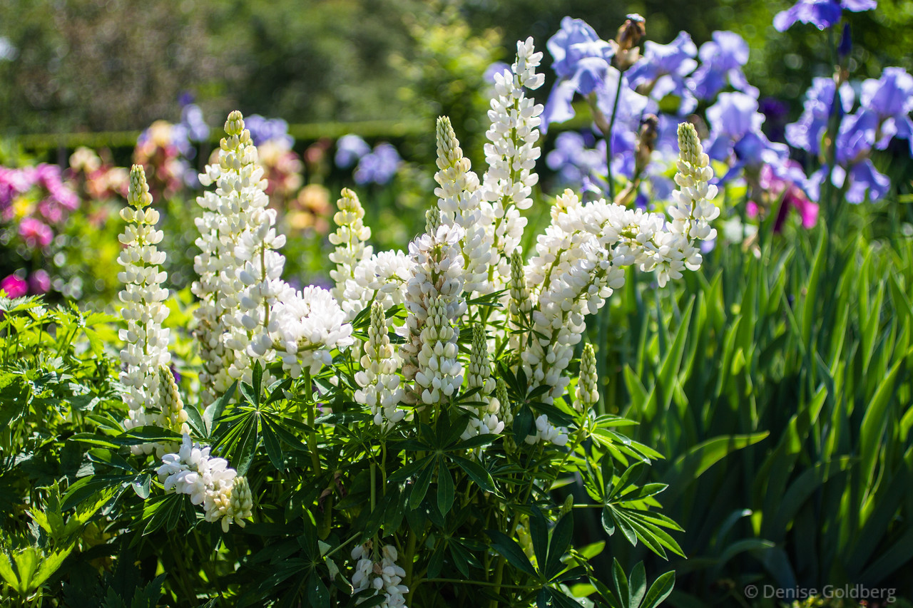 lupine in white