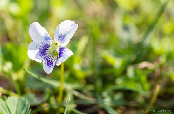 delicate... a viola sororia