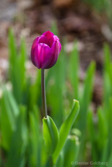 Evin's tulip