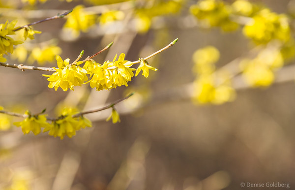 early forsythia blooms