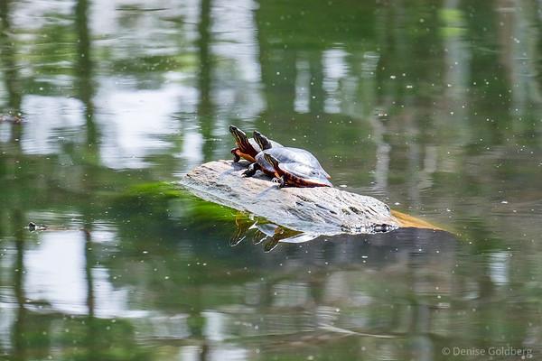turtles in the sun