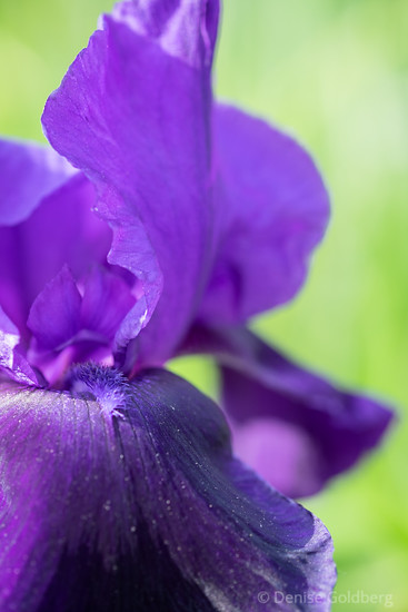 iris in purple
