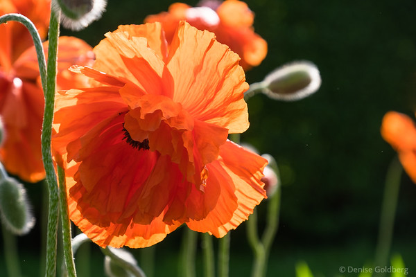 poppies pop!