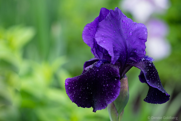 iris in deep purple