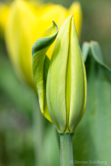 tulip, almost open