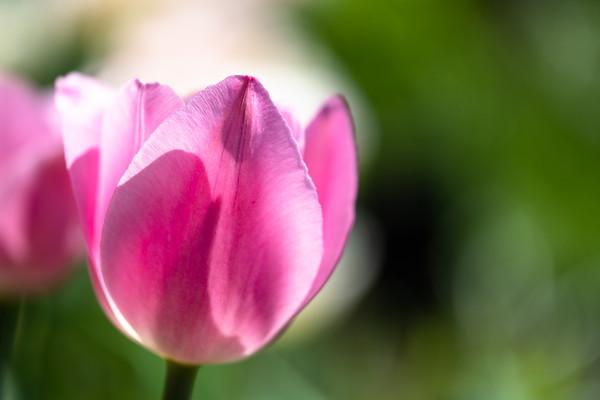 tulip in pink