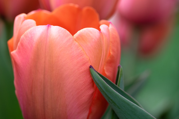 tulip petals and leaves