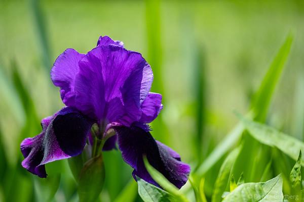 bearded iris in purple