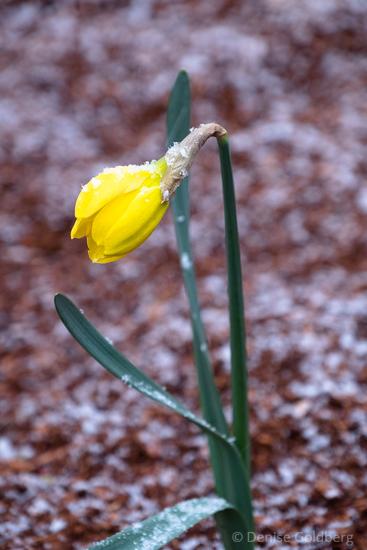 opening daffodil wearing snow