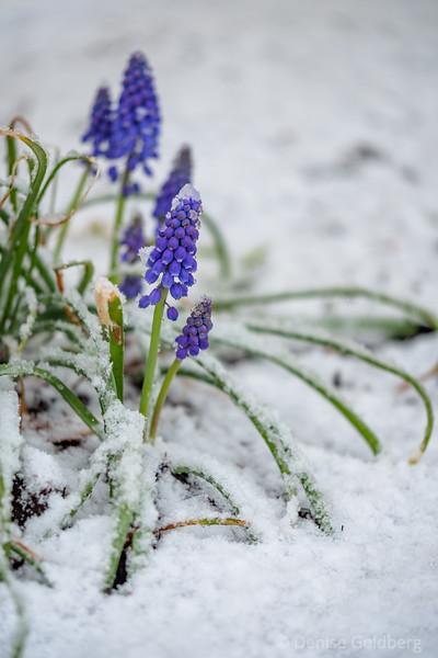 grape hyacinth & snow
