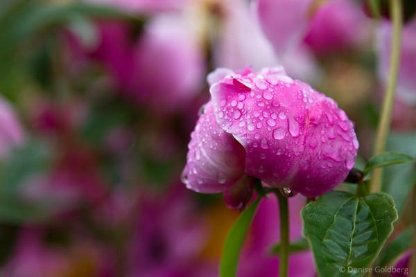 pink flowers, peony