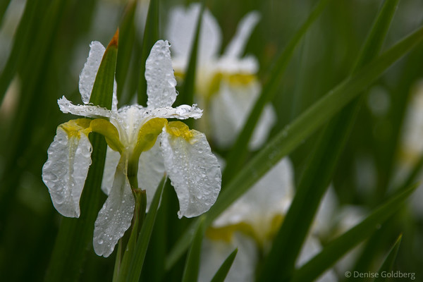 white iris covered with water drops