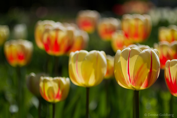 f/2.5, tulips