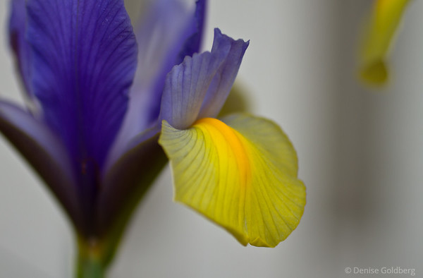 iris, purple, yellow
