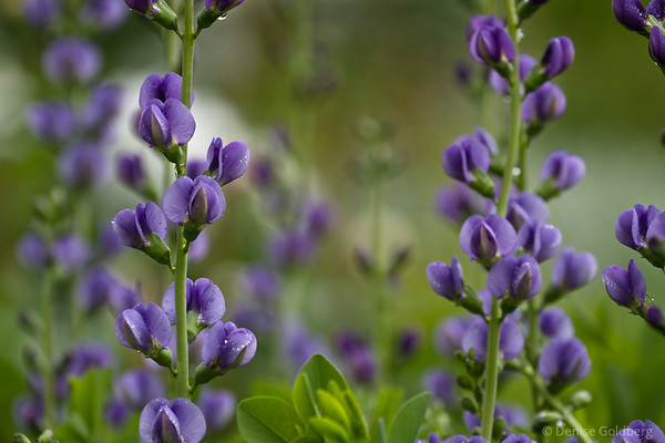 Lupine or false blue indigo? In the gardens of Stephens-Coolidge Place, North Andover, Massachusetts