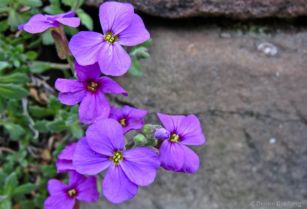 small purple flowers, rock garden