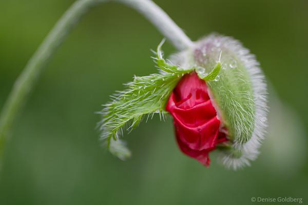 poppy, entering